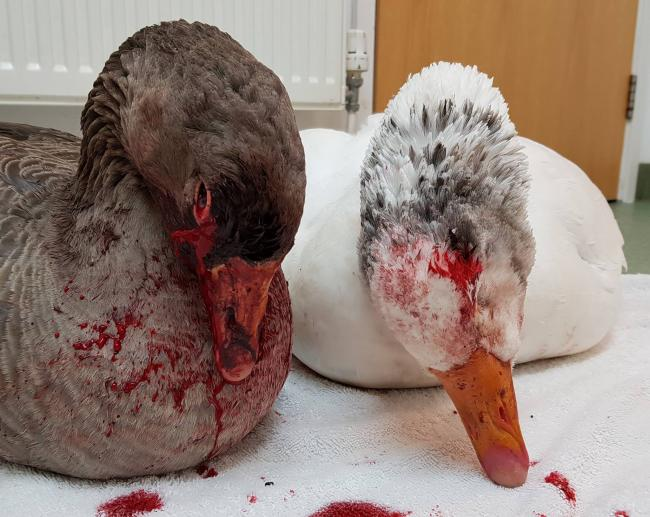 Appeal after geese injured in 'brutal' attack (credit: South Essex Wildlife Hospital)